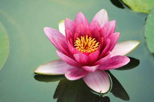 lotus-flower-II